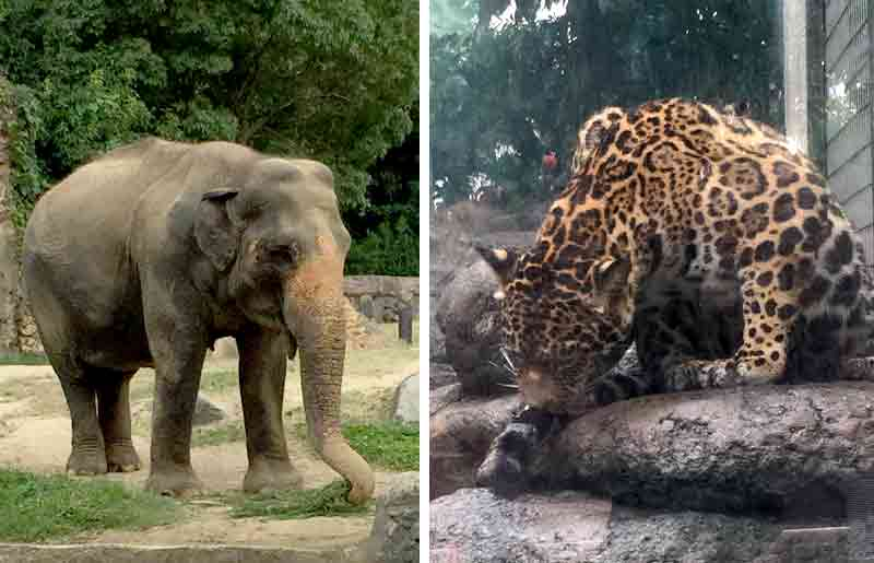 象とジャガー